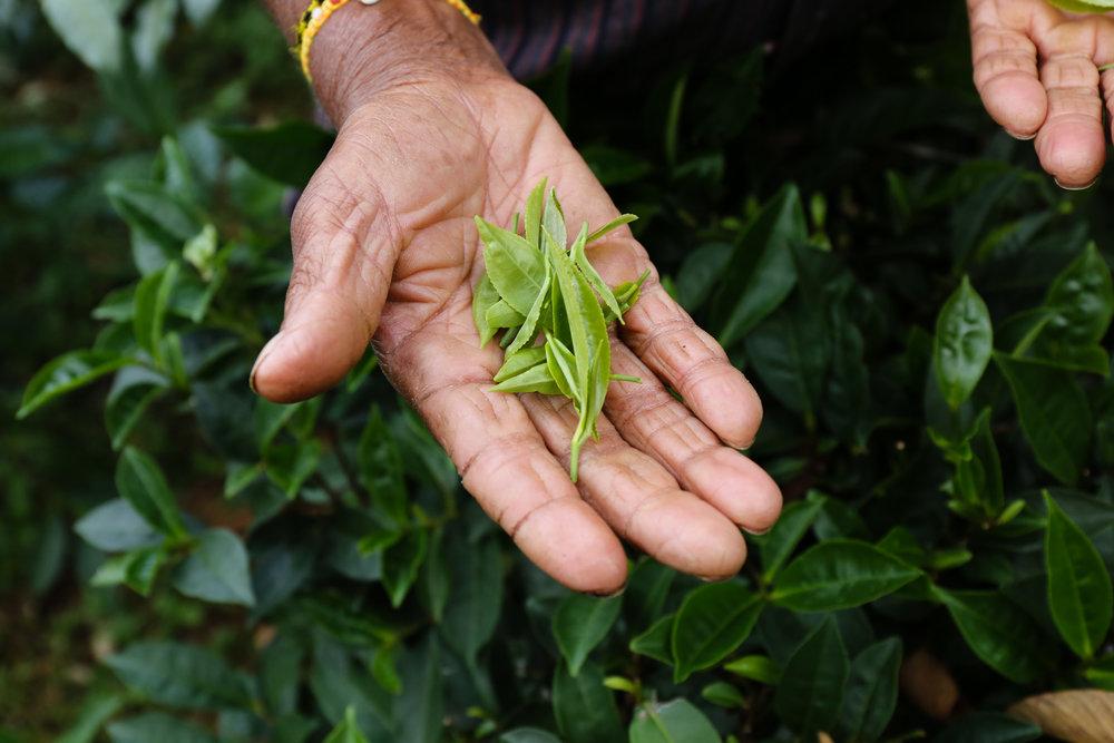 Międzynarodowy Dzień Herbaty – 15 grudnia i21 maja
