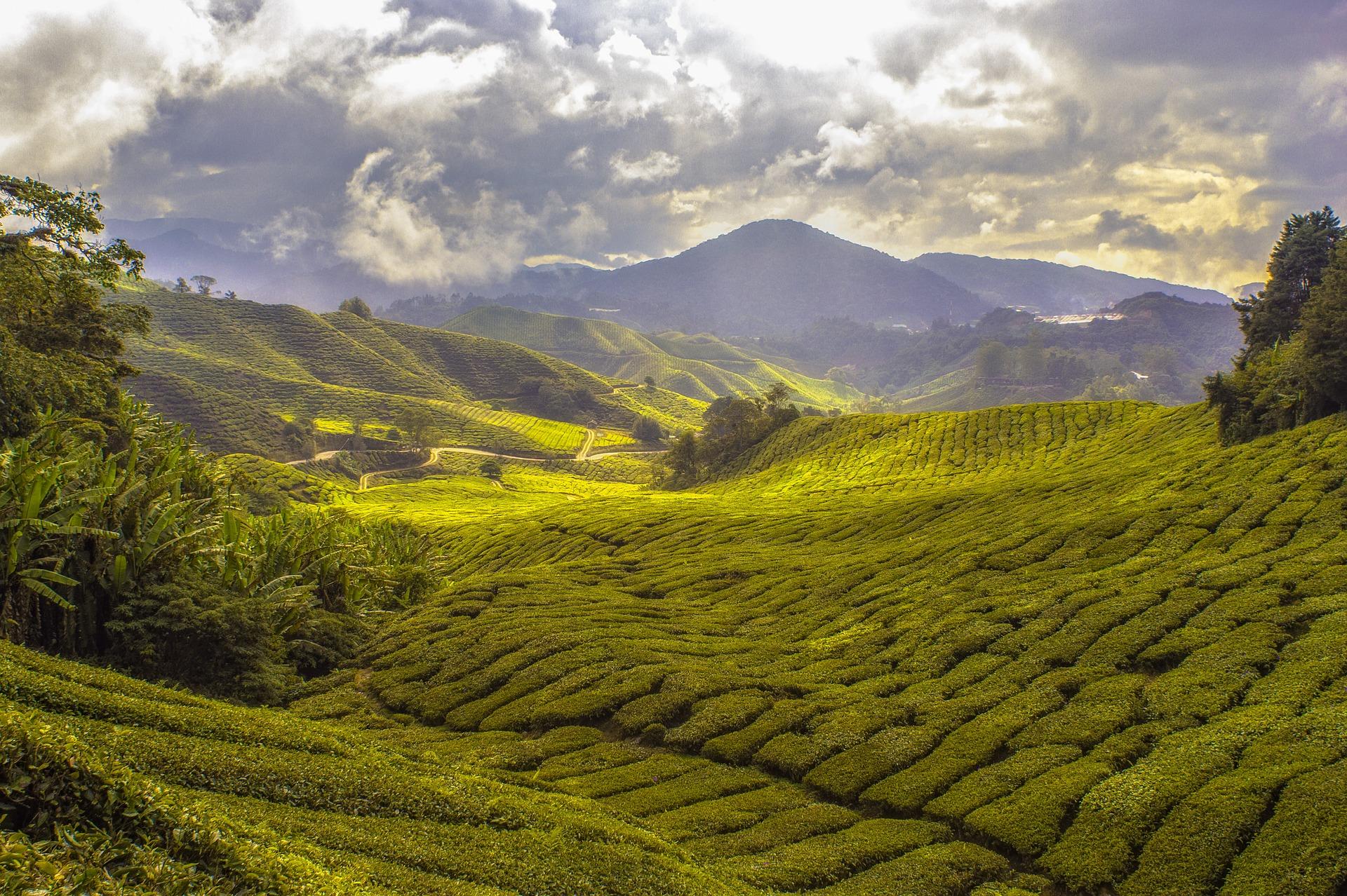 Czemu herbaciarze szaleją zaDarjeelingami?