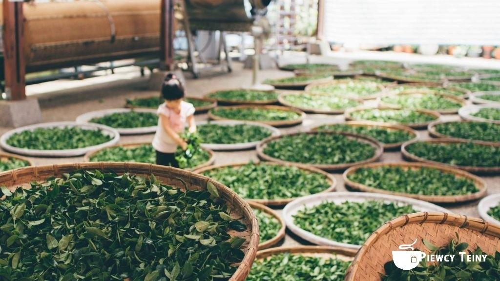 zielona herbata suszenie